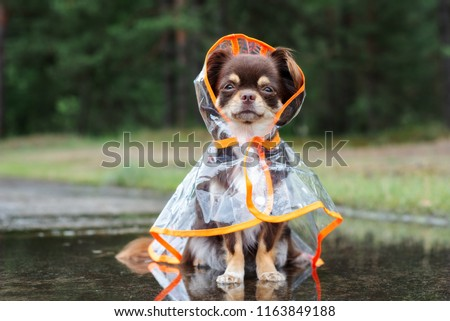 funny chihuahua dog sitting in a puddle in rain coat #1163849188