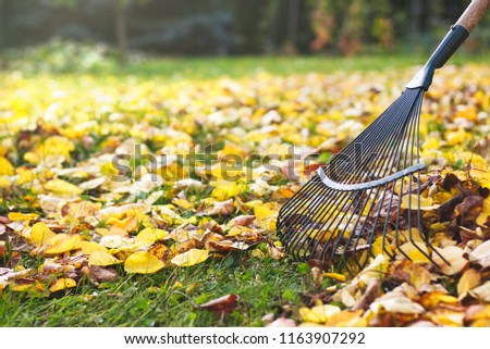 Rake with fallen leaves at autumn. Gardening during fall season. Cleaning lawn from leaves.  #1163907292