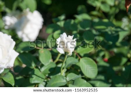 Flowering roses in the summer garden. #1163952535