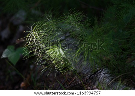 horsetail grows in the forest #1163994757
