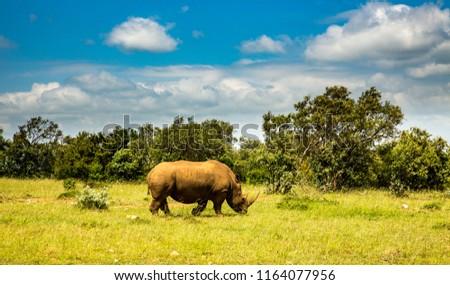 A rhinoceros (rhino) at the rhinoceros sanctuary near Lemek, Kenya, africa. #1164077956