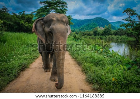 Elderly female Asian elephant walking alone on a dirt grassy path during a cloudy summer day at Elephant Nature Park in Chiang Mai, Thailand