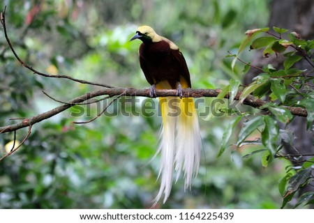Beatiful bird of paradise on branch, cendrawasih bird #1164225439