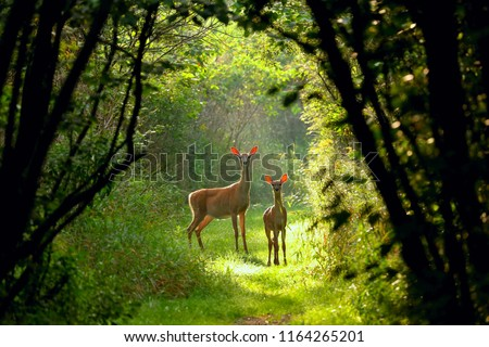 White-tailed deer(Odocoileus virginianus), Virginia deer - hind with fawn on a forest path at dawn,north America,Wisconsin,whitetail Royalty-Free Stock Photo #1164265201