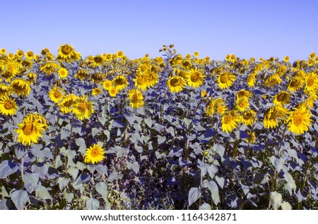 Image of a vast field of flowering sunflower, to the horizon, against a clear sky, a clear Sunny day, copy space, instagram. #1164342871