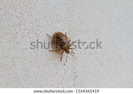 brown marmorated stink bug or shield bug Latin halyomorpha halys from the pentatomidae group of insects on a white wall in Italy native to China and Asia but now a serious pest in Europe and the USA