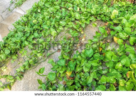 Green money plant (Epipremnum Pinnatum) #1164557440