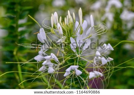 White Spider Flower, cleome, closeup #1164690886