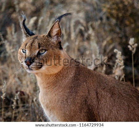 Caracal cat scans his surroundings for food #1164729934