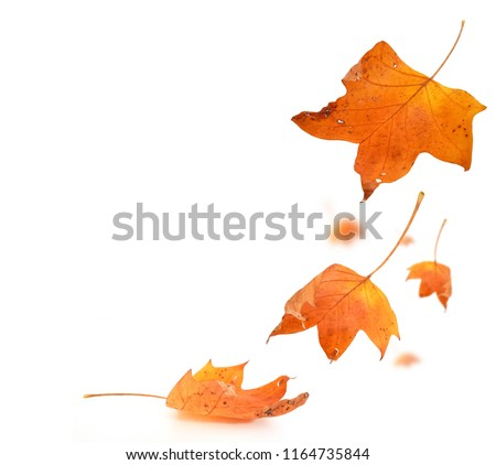 autumn leaf colors isolated  in wite for background #1164735844