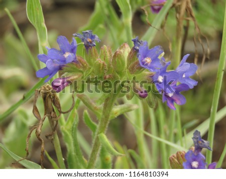 flowers of common bugloss, Anchusa officinalis, #1164810394
