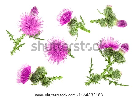 milk thistle flower isolated on white background. Top view. Flat lay pattern #1164835183