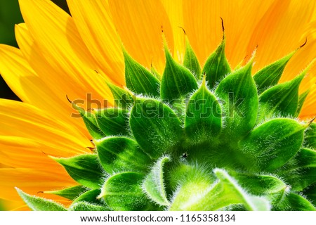 sunflower texture, natural pattern, yellow and green nature background #1165358134