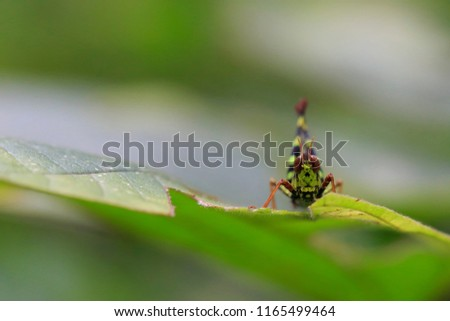 A small green grasshopper on the leaf in forest, brown eyes, insect life background with copy space, macro photography #1165499464