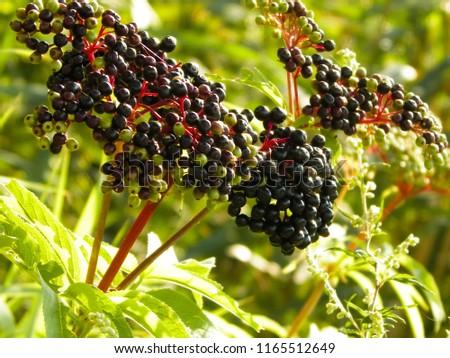 Close up of black wild berry. Balkan flora, nature concept. #1165512649