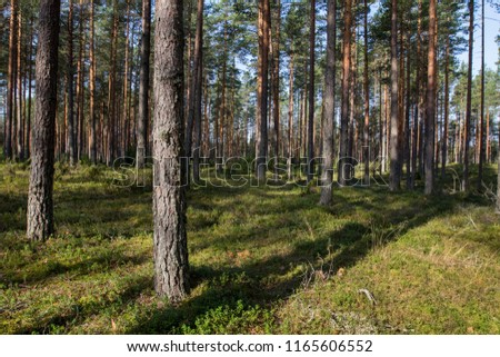 pine forest on a sunny day #1165606552