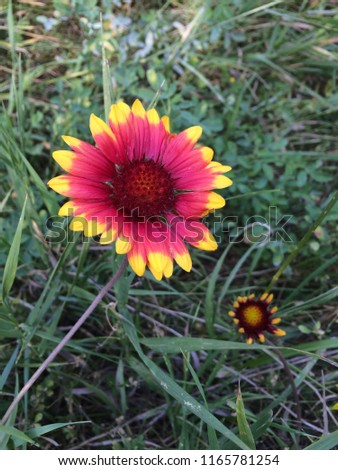 Red and yellow wild flower #1165781254