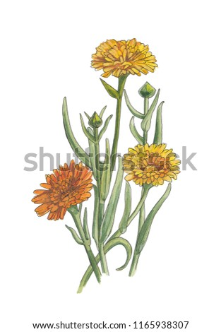 Botanical watercolor illustration of calendula flowers #1165938307