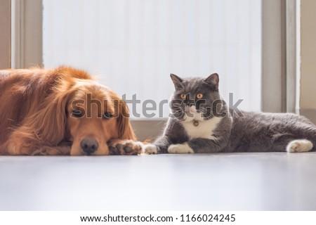 Golden retriever and British short hair cat #1166024245