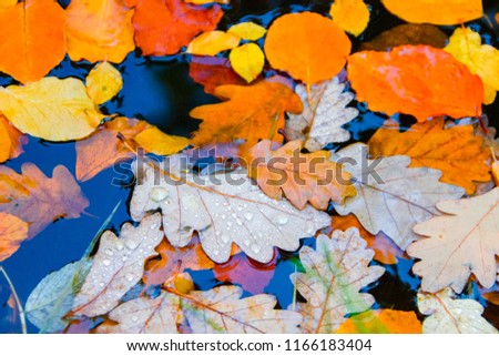 Colorful autumn leafs during fall with water drops on them at a surface of a lake or puddle #1166183404