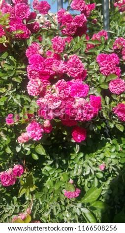 Pink romantic peonies #1166508256