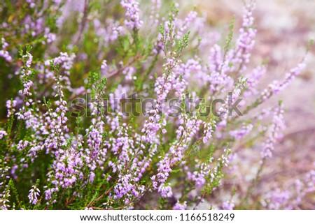 Bunch of purple scotch heather (Calluna vulgaris, erica, ling) bush also called Ling plant on moorland. Heather flowers Pink Calluna vulgaris, soft green field, selective focus photo.  #1166518249