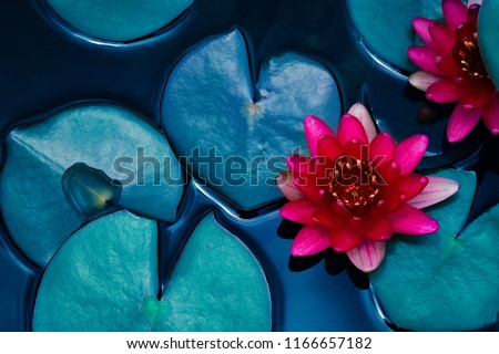 red lotus water lily blooming on water surface and dark blue leaves toned, purity nature background, aquatic plant, symbol of buddhism.
