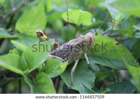 beautiful green grasshopper #1166837509