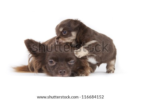 Chihuahua pup isolated on white background #116684152