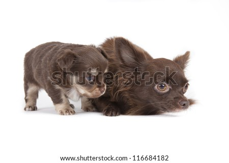 Chihuahua pup isolated on white background #116684182