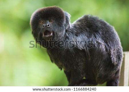 closeup of a yelling Goeldi's monkey or Goeldi's marmoset, Callimico goeldii sitting on a branch and looking upwards #1166884240