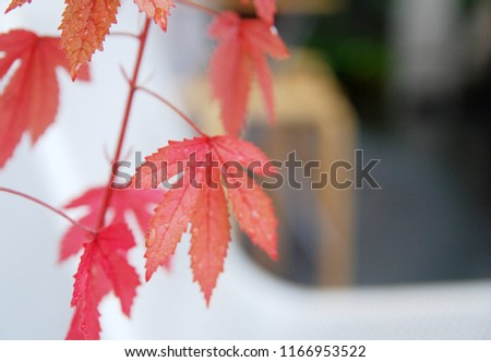 Nature scene of red maple leaves with blurred background and copy space #1166953522