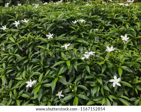 Jasmine flowers from the garden. #1167152854