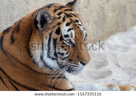 Siberian Tiger watching #1167335116