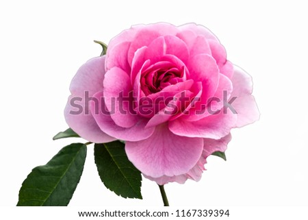 isolated pink rose on white background #1167339394