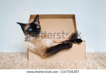 Poker Face. Sassy muzzle of cat boss. Siamese cat in a cardboard box. Cat's habits. #1167506287