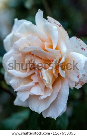 Blossoming beige rose on dark green background. Close-up photography of ornamental plant #1167633055