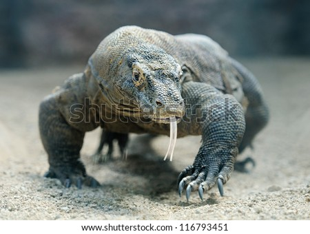 Komodo Dragon, the largest lizard in the world walks at camera with dangerous look #116793451