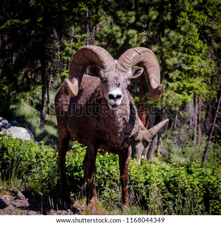 A male Rocky Mountain Bighorn Sheep guarding his harem bares his teeth in warning I am to close. #1168044349