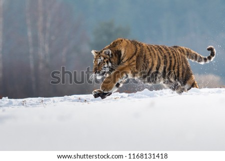 Siberian Tiger in the snow (Panthera tigris) #1168131418