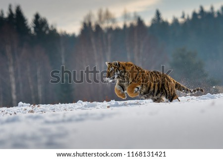Siberian Tiger in the snow (Panthera tigris) #1168131421