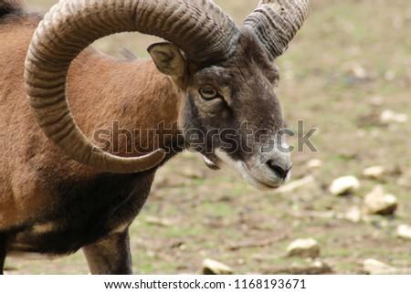 mouflon in zoo #1168193671