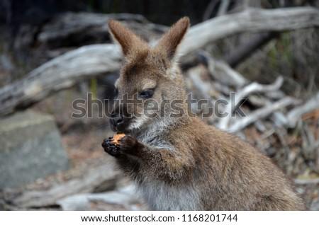 Kangaroo / Wallaby eating a biscuit in national park in Tasmania, Australia  #1168201744