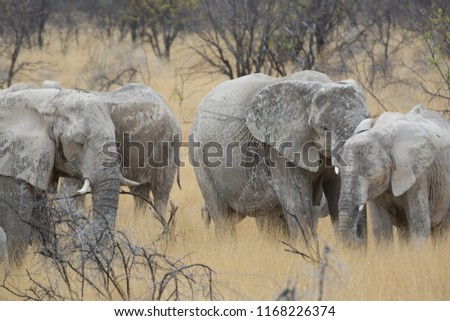 a big elephant family in africa is walking around for eating and drinking water #1168226374