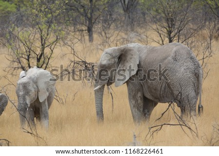 a big elephant family in africa is walking around for eating and drinking water #1168226461
