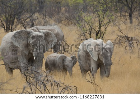 a big elephant family in africa is walking around for eating and drinking water #1168227631