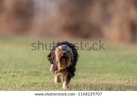 A Yorkshire terrier running in a field during golden hour.  #1168229707