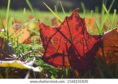 Close up Selective focuse Maple leaf Season Fall Autumn concept Back to school Copy space #1168235830