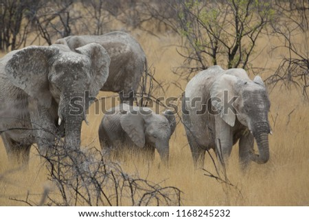 a big elephant family in africa is walking around for eating and drinking water #1168245232