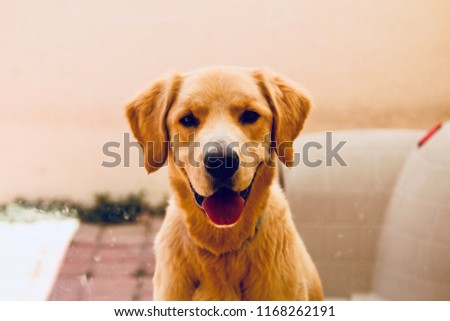 Portrait of golden retriever #1168262191